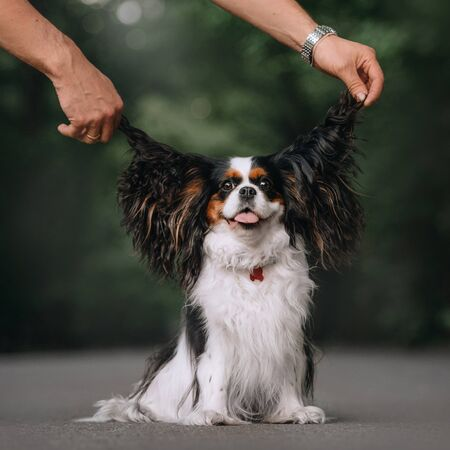 happy cavalier king charles spaniel dog sitting outdoors with owner holding ears in the air