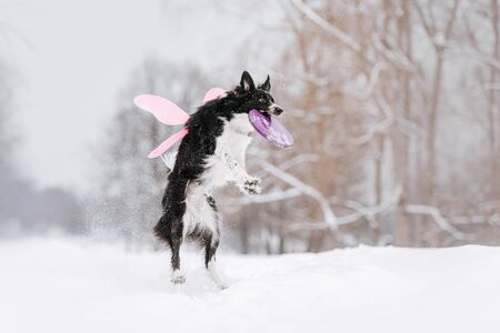 border collie dog jumping up to catch a flying disc