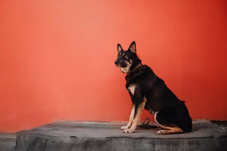 shepherd mix dog sitting outdoors by a red wall