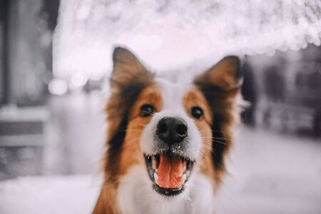 Young Red Border collie dog smiles at the camera