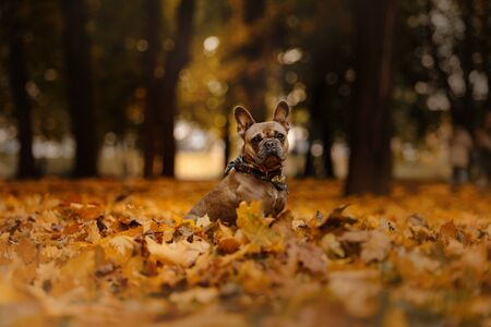 french bulldog dog sitting in fallen leaves outdoors