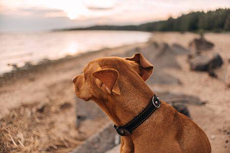 Vizsla Hund im schwarzen Kragen sitzt am Strand und schaut auf das Meer