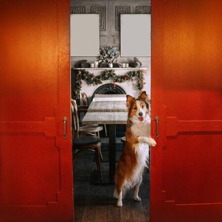 cane border collie bianco e rosso in posa in un bar per natale