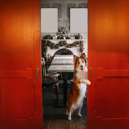 white and red border collie dog posing in a cafe for christmas
