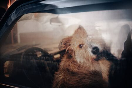 mixed breed dog sitting in the car