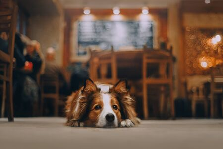 Red border collie dog lying on the floor
