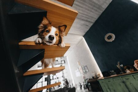 border collie dog looks down from the staircase indoors Stock Photo