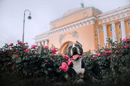 pit bull terrier dog portrait in blooming roses outdoors