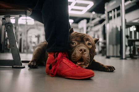 adorable american bully dog posing in a gym Stock Photo
