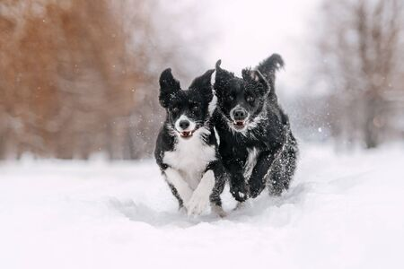 two border collie dogs running outdoors in winter