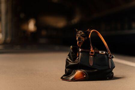 miniature pinscher dog sitting inside a leather bag outdoors