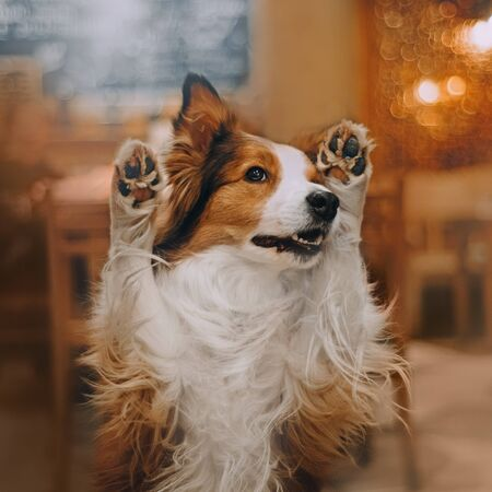 Border collie dog sitting in cafe and covers nose with paws Stock Photo