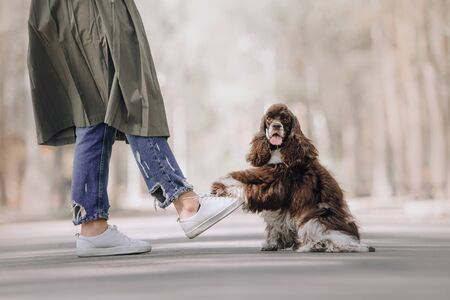 funny cocker spaniel dog gives paw to owner outdoors