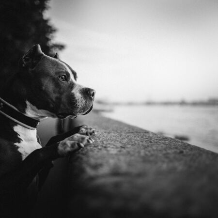 american pit bull terrier dog portrait outdoors