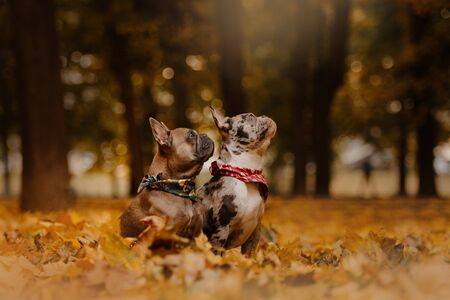two french bulldog dogs portrait outdoors in autumn