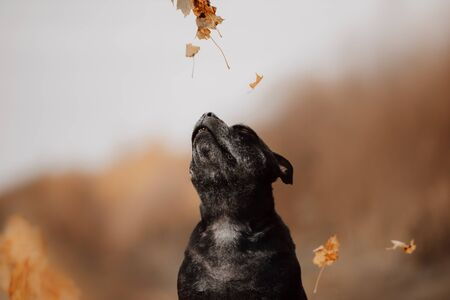 staffordshire bull terrier dog catching falling leaves