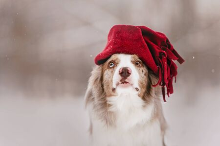 border collie dog posing in a winter hat