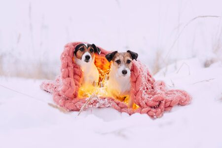 Two Jack russell terrier dogs is wrapped in a pink scarf