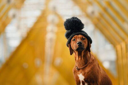 funny rhodesian ridgeback dog wearing a black winter hat