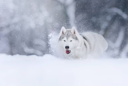 happy siberian husky dog playing in the snow outdoors
