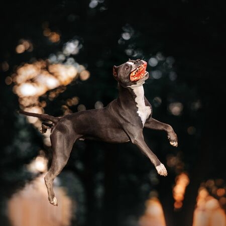 funny american pit bull terrier dog jumping up outdoors