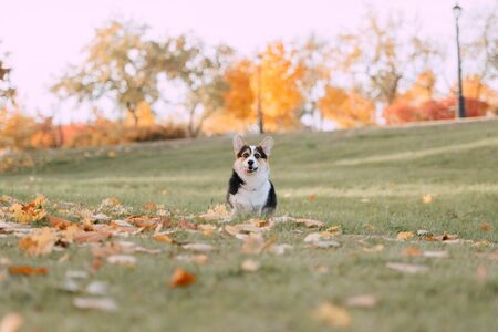 Tricolor Pembroke Welsh Corgi is in the fall leaves