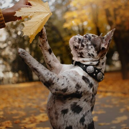 adorable french bulldog dog portrait outdoors in autumn Stock Photo