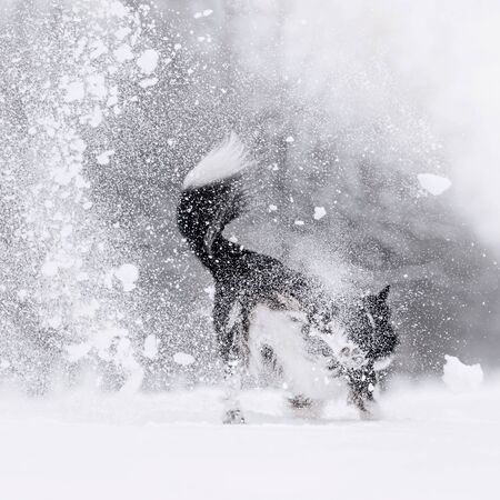 funny border collie dog playing outdoors in the snow