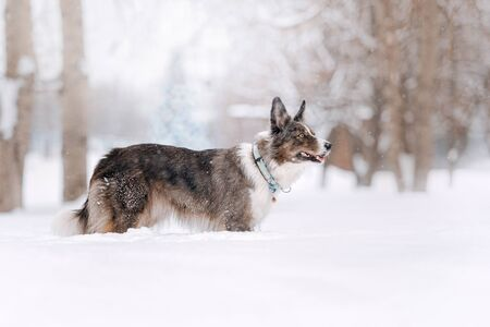 beautiful border collie dog posing outdoors in winter