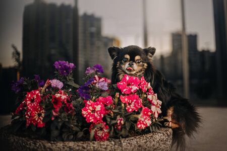 cute chihuahua dog sitting next to blooming flowers outdoors