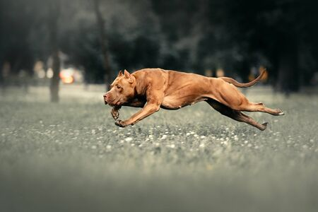 brown american pit bull terrier dog running outdoors Stock Photo