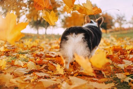 Welsh Corgi Pembroke has his back to the camera in yellow leaves Stock Photo