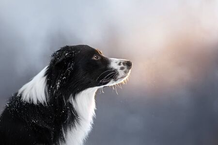 Black-white border collie portrait in the snow sits at sunset in the park Stock Photo