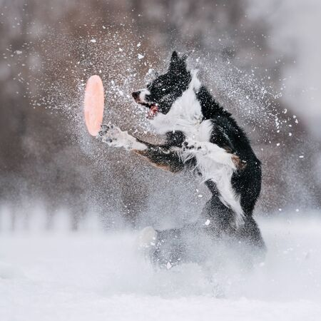 Black and white border collie trying to grab a disc drive in the snow