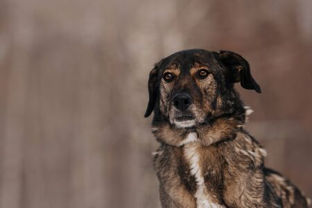 serious mixed breed dog portrait outdoors in winter Stock Photo