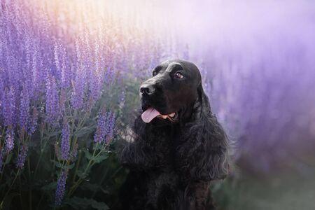 happy english cocker spaniel dog portrait in purple field flowers