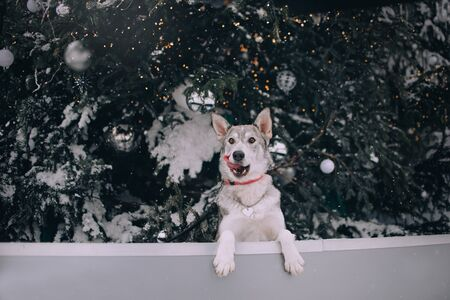 mixed breed dog posing outdoors by a christmas tree Stock Photo