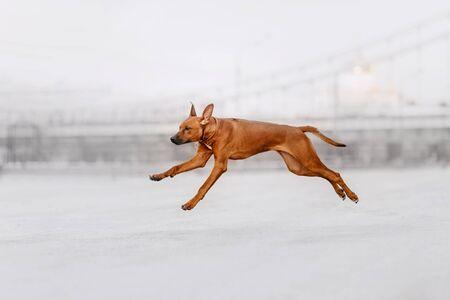 rhodesian ridgeback dog running outdoors