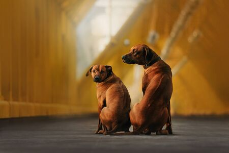 two rhodesian ridgeback dogs sitting close together outdoors