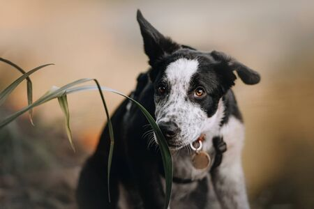 border collie puppy portrait sniffing grass outdoors Stock Photo
