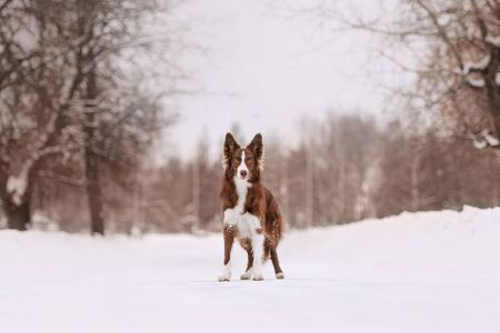 adorable border collie dog portrait outdoors in winter