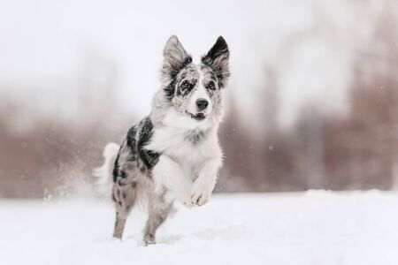 happy border collie dog running outdoors in winter