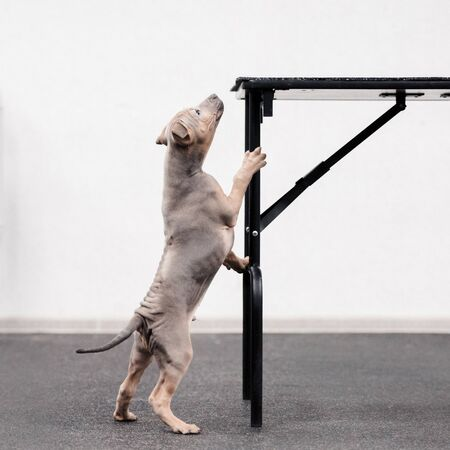 curious thai ridgeback puppy standing on hind legs