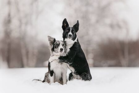 two border collie dogs hugging outdoors in winter