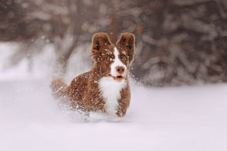 happy brown border collie dog running in the snow