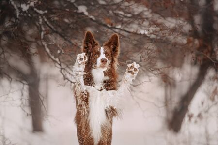 border collie dog doing tricks outdoors in winter