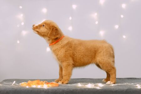 toller retriever puppy posing indoors with led lights