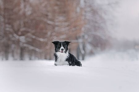 Black and white border collie lies in the snow for a walk in the park