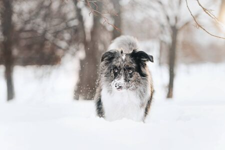 adorable border collie dog walking outdoors in winter