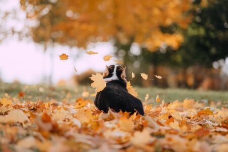 Tricolor Pembroke Welsh Corgi playing in the fall leaves Stock Photo